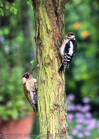 Both Green and Lesser Spotted Woodpeckers appearing at once.  Shot in my garden, Ross-on-Wye, Herefordshire, UK.  Taken last year in June.